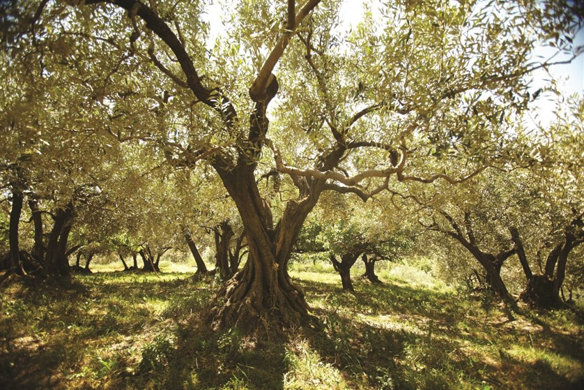 Olivier centenaire dans une oliveraie